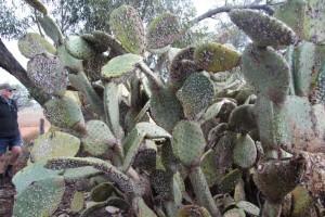 cochineal Opuntia engelmanii (3)