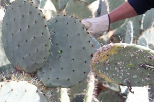 infesting cochineal nildottie (3)