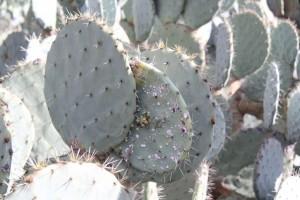 infesting cochineal nildottie (5)